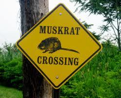 muskrat crossing